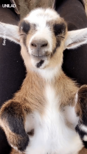 Dank, Goat, and Sleeping: This baby goat sleeping is the most peaceful thing I've ever seen 😍😍