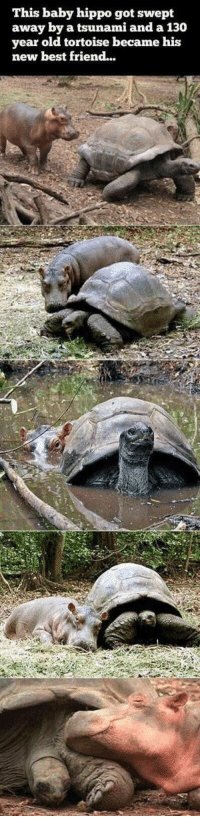 """Best Friend, Best, and Tsunami: This baby hippo got swept  away by a tsunami and a 130  year old tortoise became his  new best friend... <p>An unlikely friendship via /r/wholesomememes <a href=""""https://ift.tt/2qKlqoV"""">https://ift.tt/2qKlqoV</a></p>"""