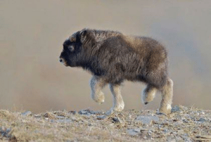 This baby musk ox just wants your love and awws :): This baby musk ox just wants your love and awws :)