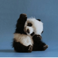 this baby panda is cheering for u bc u can do anything https://t.co/ENWmvYZOdx: this baby panda is cheering for u bc u can do anything https://t.co/ENWmvYZOdx