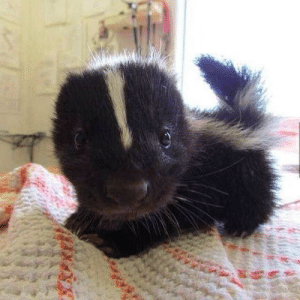This baby skunk: This baby skunk