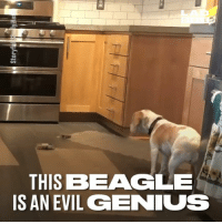 Dank, Genius, and Help: THIS BEAGLE  IS AN EVIL GENIUS You can't help but be impressed by this evil genius dog 😂🐶