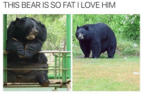 Haha this is me 😂 🤣: THIS BEAR IS SO FAT I LOVE HIM Haha this is me 😂 🤣
