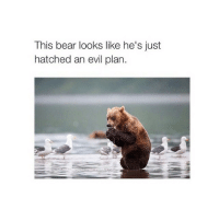 Bear, Bears, and Girl Memes: This bear looks like he's just  hatched an evil plan Is it 2014 in two days