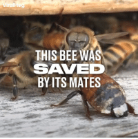 Dank, Watch, and Bees: THIS BEE WA  SAVE  BYITS MATES These bees just couldn't stand by and watch their mate die 👏