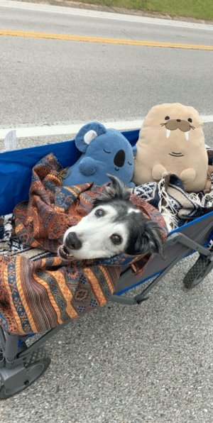 This big girl turned 14 the other day! She has canine hip dysplasia which makes it hard for her to walk too much. We decided to put cushions and blankets in this wagon and take her for a stroll!: This big girl turned 14 the other day! She has canine hip dysplasia which makes it hard for her to walk too much. We decided to put cushions and blankets in this wagon and take her for a stroll!
