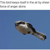 me as a bird (@memes): This bird keeps itself in the air by sheer  force of anger alone. me as a bird (@memes)