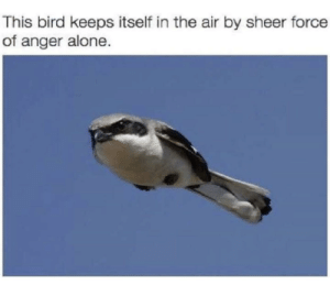 Being Alone, MeIRL, and Air: This bird keeps itself in the air by sheer force  of anger alone. Meirl
