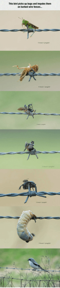 "Tumblr, Blog, and Com: This bird picks up bugs and impales them  on barbed wire fences...  OBrenda F. Springfcld  O Brends T Springfields <p><a href=""https://epicjohndoe.tumblr.com/post/175596040019/one-smart-bird"" class=""tumblr_blog"">epicjohndoe</a>:</p>  <blockquote><p>One Smart Bird</p></blockquote>"