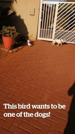 """We have two barking dogs and one barking bird..."" Watch with sound! 😂😂🔈  Credit: ViralHog: This bird wants to be  one of the dogs! ""We have two barking dogs and one barking bird..."" Watch with sound! 😂😂🔈  Credit: ViralHog"