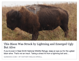 Alive, Tumblr, and Ugly: This Bison Was Struck by Lightning and Emerged Ugly  But Alive  If you're ever in Neal Smith National Wildlife Refuge, keep an eye out for the ugliest  bison alive. That's not an insult. Taking a direct hit from a lightning bolt and...  GIZMODO.COMI BY ESTHER INGLIS-ARKELL anexperimentallife: orangecatbuttz:  rcktpwr:  slimetony:  petbud: he's not ugly he's handsome  distinguished  rugged  This motherfucker survives a lightning strike and you have the gull to call them ugly?? If mother nature cant kill them what chance do you have when this mofo comes after you?!   Reblog Lightning Bison for protection from lightning.