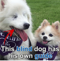 Dogs, Facebook, and Memes: This blind dog has  his own guide https://m.facebook.com/story.php?story_fbid=1449103248482752&id=164305410295882