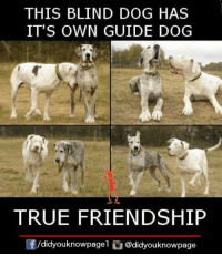Blind Dog: THIS BLIND DOG HAS  IT'S OWN GUIDE DOG  TRUE FRIENDSHIP  囝/d.dyouknowpagel @didyouknowpage