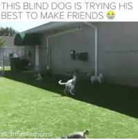 Friends, Memes, and Best: THIS BLIND DOG IS TRYING HIS  BEST TO MAKE FRIENDS  indborzÖ Repost @happypoopypants ・・・ This Blind Dog Making Friends Will Melt Your Heart He is so adorable! Follow him at 📹🌟@theblindborzoi🌟 🍾🌟@buzzfeedanimals🌟