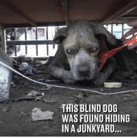 This blind dog got a second chance at life after being rescued from a junkyard! 🙌❤️  Hope For Paws: THIS BLIND DOG  WAS FOUND HIDING  IN A JUNKYARD. This blind dog got a second chance at life after being rescued from a junkyard! 🙌❤️  Hope For Paws