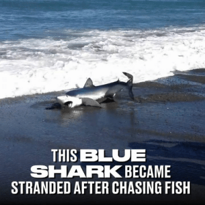 The brave bystander jumped into action after spotting a helpless shark struggling in the water 👏🦈: THIS BLUE  SHARK BECAME  STRANDED AFTER CHASING FISH The brave bystander jumped into action after spotting a helpless shark struggling in the water 👏🦈