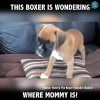 Where is Mommy? 😊  ❤Puggy❤: THIS BOXER IS WONDERING  Source: Harvey The Boxer Youtube Channel  WHERE MOMMY IS! Where is Mommy? 😊  ❤Puggy❤