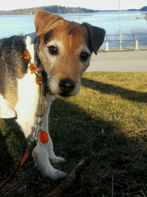 This boy turns 12 today and still playful as a puppy: This boy turns 12 today and still playful as a puppy