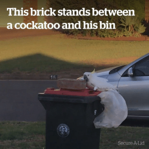 Proof that you can never outsmart a cockatoo 😂  Credit: Secure-A-Lid: This brick stands between  a cockatoo and his bin  16  Secure-A-Lid Proof that you can never outsmart a cockatoo 😂  Credit: Secure-A-Lid