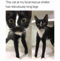 The Cat by Salvador Dali (@hilarious.ted) (u-McPokie): This cat at my local rescue shelter  has ridiculously long legs  UD The Cat by Salvador Dali (@hilarious.ted) (u-McPokie)
