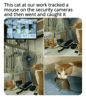 Head, Work, and Mouse: This cat at our work tracked a  mouse on the security cameras  and then went and caught it Head of security