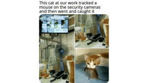 Work, Mouse, and Dank Memes: This cat at our work tracked a  mouse on the security cameras  and then went and caught it That's one extremely smart cat