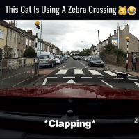 This is one clever cat! 🐱: This Cat Is Using A Zebra Crossing  Clapping This is one clever cat! 🐱