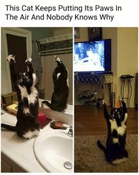 Memes, 🤖, and Cat: This Cat Keeps Putting Its Paws In  The Air And Nobody Knows Why He's lifting an invisible barbell | Follow @aranjevi for more!