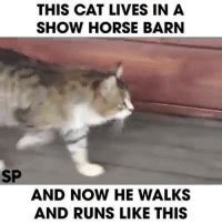 Haha..:): THIS CAT LIVES IN A  SHOW HORSE BARN  SP  AND NOW HE WALKS  AND RUNS LIKE THIS Haha..:)