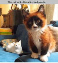 Red pandas: This cat looks like a tiny red panda.