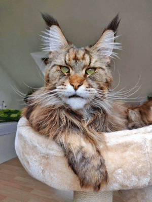 This cat looks like Ron Perlman: This cat looks like Ron Perlman