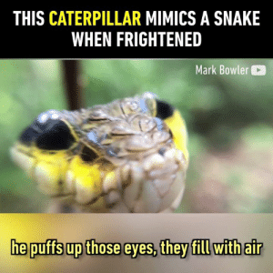Why turn into a moth if you can be a snake.  By Mark Bowler: THIS CATERPILLAR MIMICS A SNAKE  WHEN FRIGHTENED  Mark Bowler  he puffs up those eyes, they fill withair Why turn into a moth if you can be a snake.  By Mark Bowler