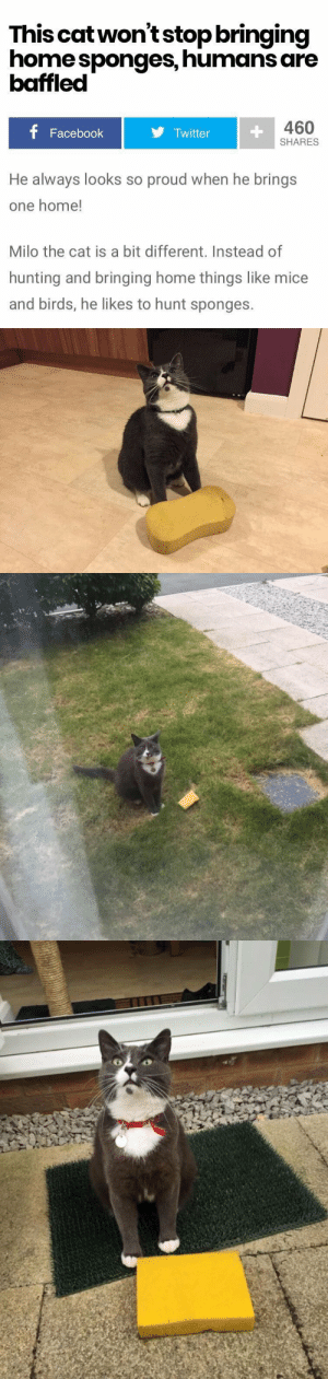 babyanimalgifs:  now this is the type of news i want to read about: This catwon'tstop bringing  home sponges, humans are  baffled  460  Facebook  Twitter  SHARES  He always looks so proud when he brings  one home!  Milo the cat is a bit different. Instead of  hunting and bringing home things like mice  and birds, he likes to hunt sponges. babyanimalgifs:  now this is the type of news i want to read about