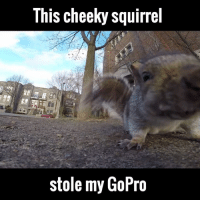 Dank, 🤖, and Play: This cheekysquirrel  stole my GoPro Fair play to the squirrel, it managed to capture some great footage.. Before dropping it out of a tree! Newsflare