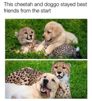 Friends, Best, and Cheetah: This cheetah and doggo stayed best  friends from the start Mmmmh fullfilling…