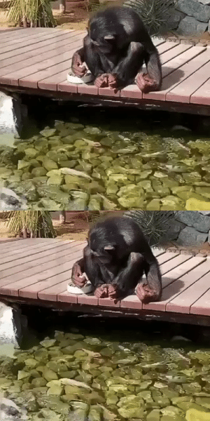 This Chimp admiring and feeding the fish (via): This Chimp admiring and feeding the fish (via)