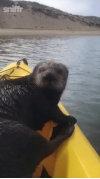 This cute little otter hitched a ride on their canoe then took a nap 😂😍: This cute little otter hitched a ride on their canoe then took a nap 😂😍