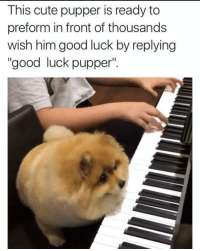 "me🎹irl: This cute pupper is ready to  preform in front of thousands  wish him good luck by replying  ""good luck pupper"" me🎹irl"