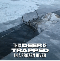 Dank, Deer, and Frozen: THIS DEERIS  TRAPPED  IN A FROZEN RIVER Things could've ended terribly for this deer if it weren't for the quick thinking of these good Samaritans 👏🏻🦌