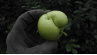 Apple, Faces-In-Things, and Big: This deformed apple that looks like a big-nosed smoker https://t.co/3PQp1qtmon