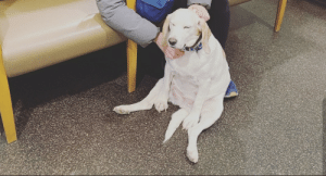 This dog ate a weed gummy and had to go to the emergency room on Valentine's Day.: This dog ate a weed gummy and had to go to the emergency room on Valentine's Day.