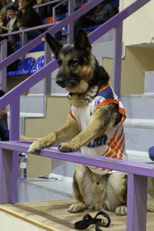 Basketball, Match, and Today: This dog came to every match of our basketball team. Today team presented to him this uniform and a ticket to the VIP-zone