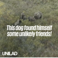 Dank, Family, and Friends: This dog found himself  some unlikely friends!  UNILAD This dog formed an unlikely friendship with a family of bears 🙌🐻