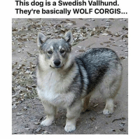 Memes, Wolf, and Swedish: This dog is a Swedish Vallhund.  They're basically WOLF CORGIS... Wolf corgis maybe
