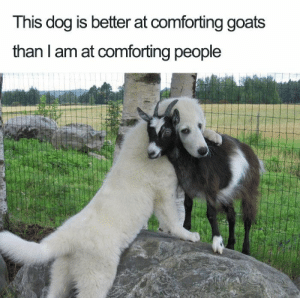 Animals, Funny, and Memes: This dog is better at comforting goats  than I am at comforting people 33 Happiest Dog Memes Ever That Will Make You Smile From Ear To Ear #dogmemesfunny #dogmemes #dog #memesdaily #memes #funny #funnymemes #lovelyanimalsworld - Lovely Animals World