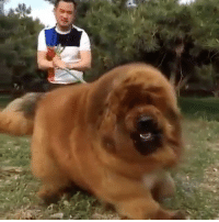 """Memes, 🤖, and Dog: This dog is called a Tibetan Mastiff! @chillino Comment """"unbelievable"""" letter by letter without being interrupted! (99% can't!) craziestvids @chillino"""