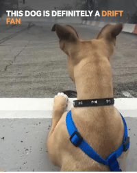 Definitely, Memes, and Boost: THIS DOG IS DEFINITELY A DRIFT  FAN This dog is absolutely loving it! 📹:@chelseadenofa . . carmemes jdm turbo boost tuner carsofinstagram carswithoutlimits carporn instacars supercar carspotting supercarspotting stance stancenation stancedaily racecar blacklist cargram carthrottle drift itswhitenoise amazingcars247