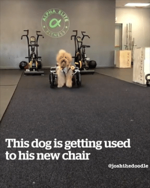 This doggy wheelchair is incredible! 🙌😍: This dog is getting used  to his new chair  @joshthedoodle This doggy wheelchair is incredible! 🙌😍