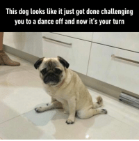 Damnnnn Pug, that was siiiick!: This dog looks like it just got done challenging  you to a dance off and now it's your turn Damnnnn Pug, that was siiiick!