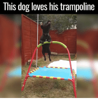 #chingon: This dog loves his trampoline #chingon